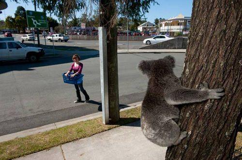 Как спасают мишек коала в австралии