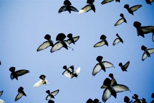 Молодые тюменские голуби завершили спортивный сезон